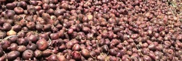 مزارعو البصل يحصدون الدموع (ريبورتاج)